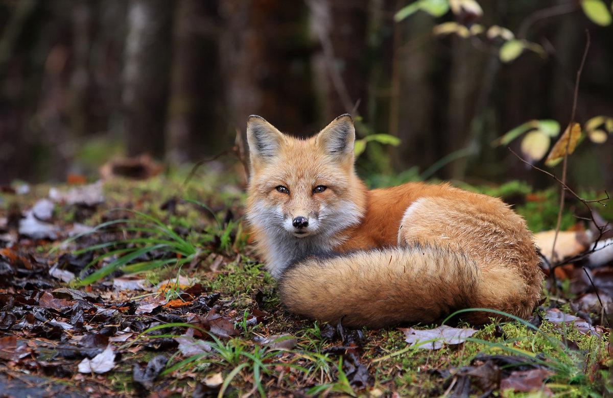 Фотографии картинки лисы