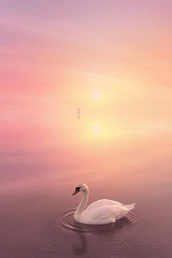 картинки одинокая лебедь в небе барнаула