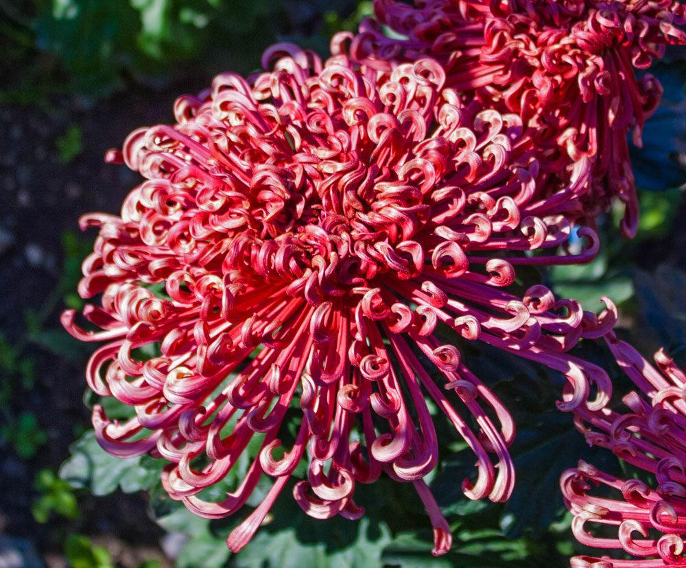 кучерявая хризантема фото качеству добрым отзывам